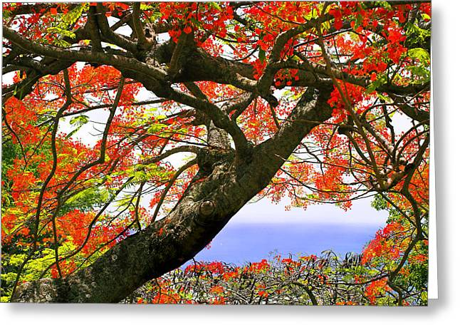 Flamboyant Trees- St Lucia Greeting Card by Chester Williams
