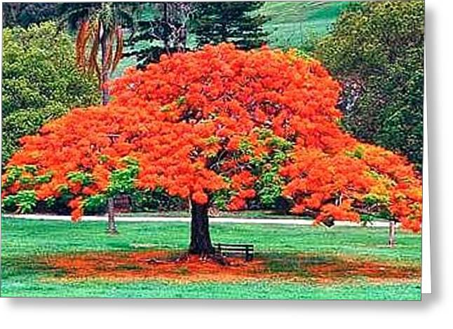 Flame Tree Greeting Card by Francis Roberts ll