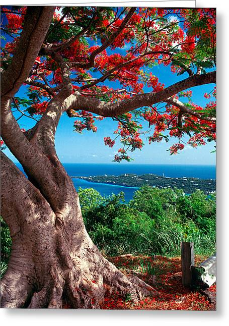 Flame Tree St Thomas Greeting Card