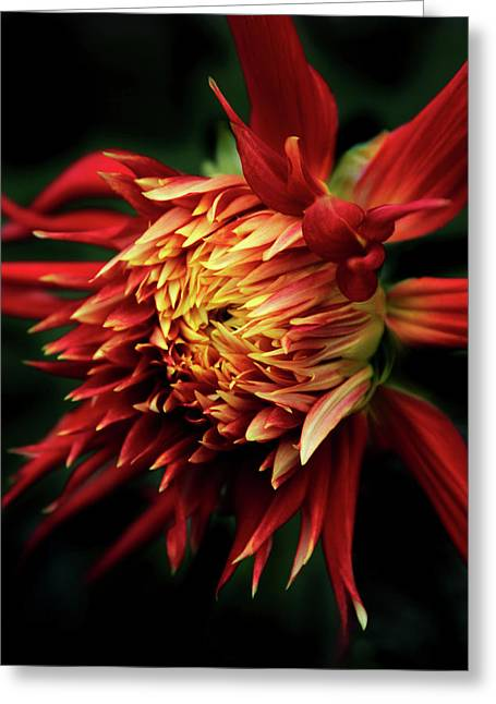 Flaming Dahlia  Greeting Card by Jessica Jenney