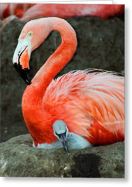 Flamingo And Baby Greeting Card by Anthony Jones