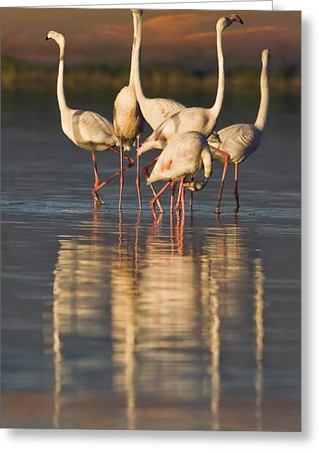 Flamingo Dance Greeting Card by Basie Van Zyl