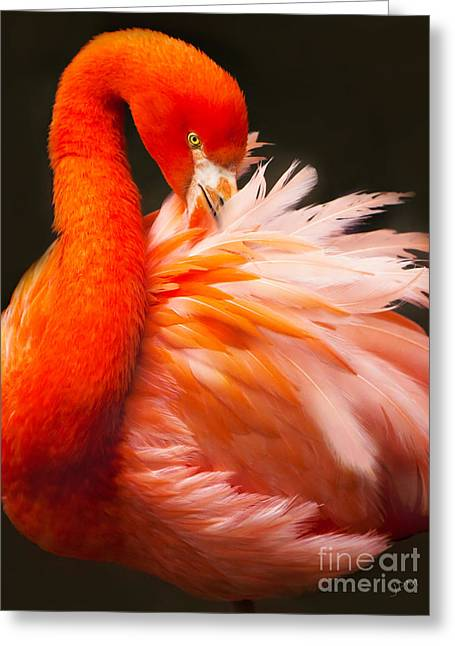 Flamingo Fluff Greeting Card by Joan McCool