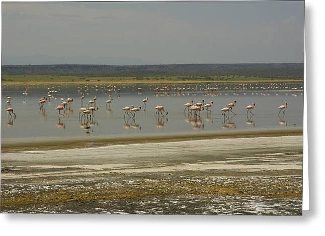 Flamingos Magadi Hot Springs Kenya Greeting Card by Patrick Kain