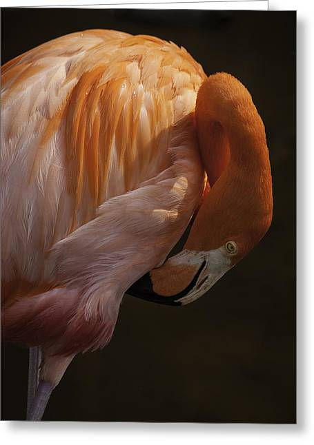 Flamingo Preening Greeting Card