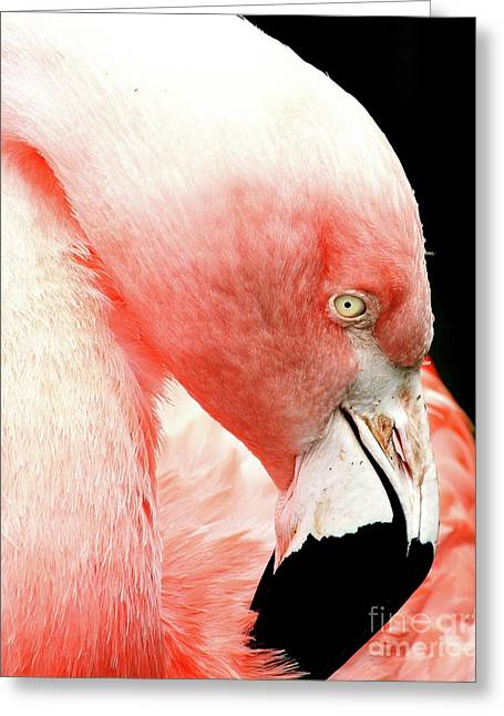 Flamingo . R7927 Greeting Card by Wingsdomain Art and Photography