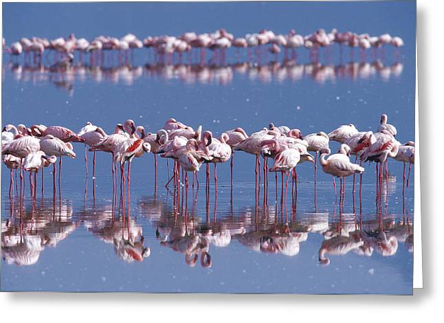 Greater Flamingos Greeting Cards - Flamingo Reflection - Lake Nakuru Greeting Card by Sandra Bronstein