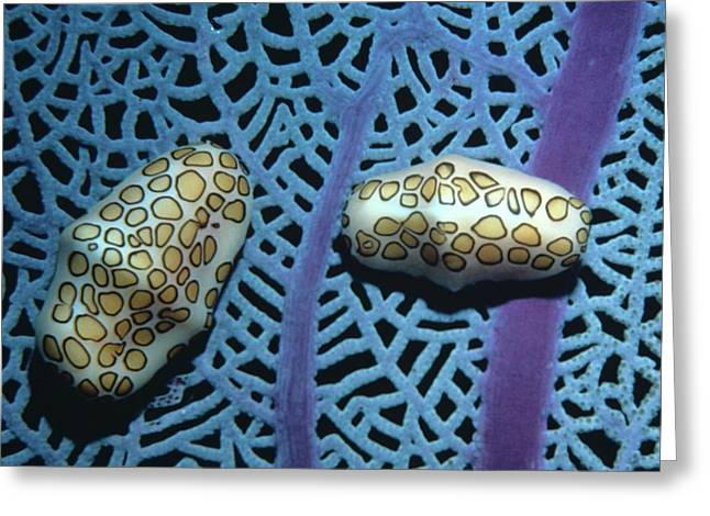 Flamingo Tongue Shells On Sea Fan Greeting Card