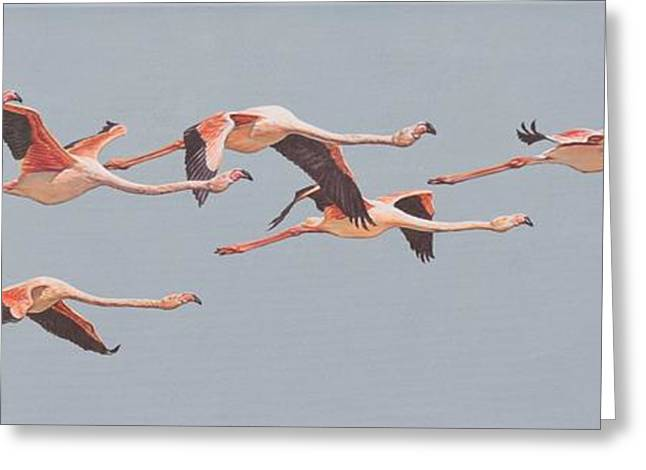 Greeting Card featuring the painting Flamingos In Flight by Alan M Hunt