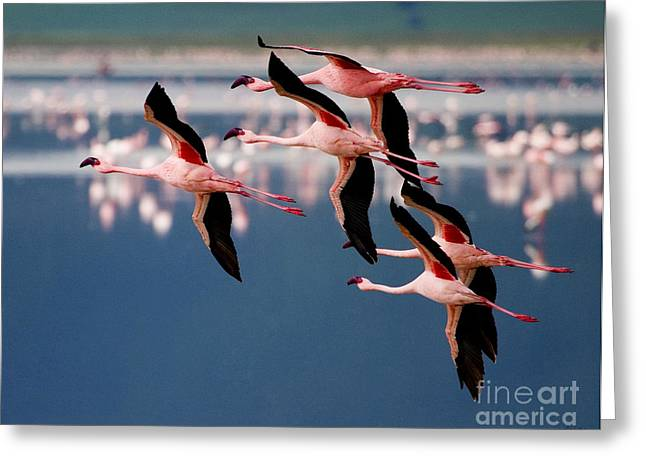 Flamingos In Flight-signed Greeting Card