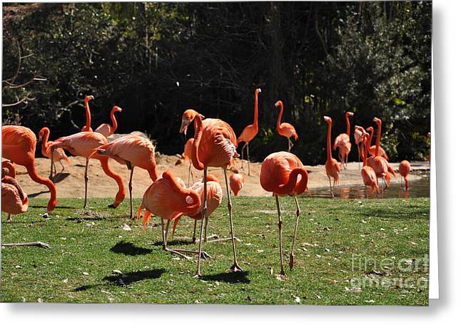 Greeting Card featuring the photograph Flamingos by John Black