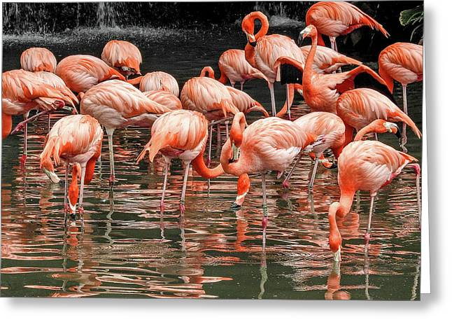 Flamingo Looking For Food Greeting Card