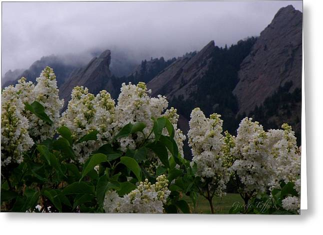 Flatirons White Lilacs Greeting Card