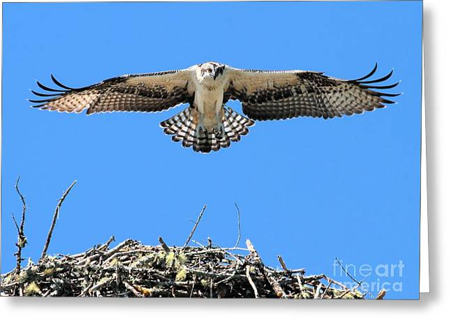 Greeting Card featuring the photograph Flegeling Osprey by Debbie Stahre