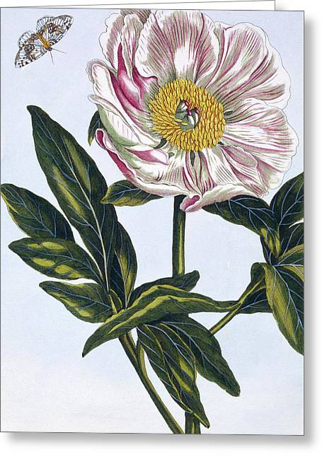 Flesh Colored Common Peony Greeting Card by Pierre-Joseph Buchoz