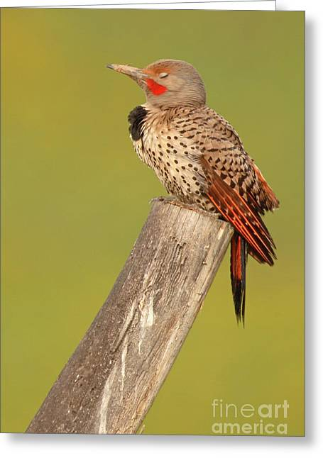 Greeting Card featuring the photograph Flicker Asleep On Perch by Max Allen