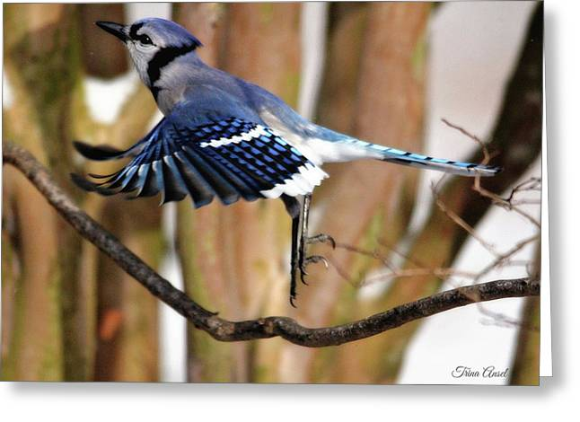 Flight Of The Blue Jay Greeting Card