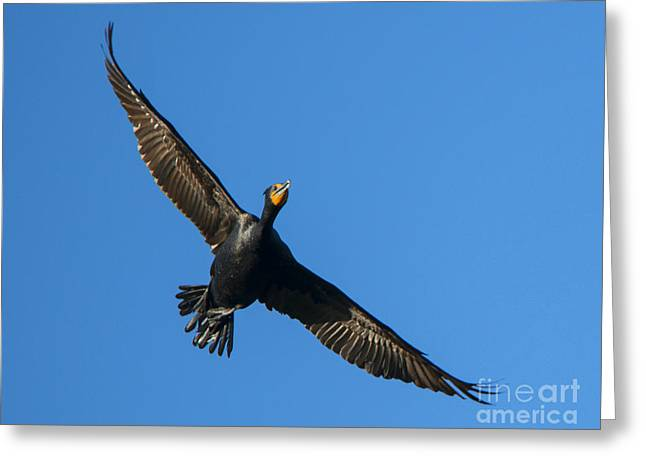 Flight Of The Comorant Greeting Card by Mike Dawson
