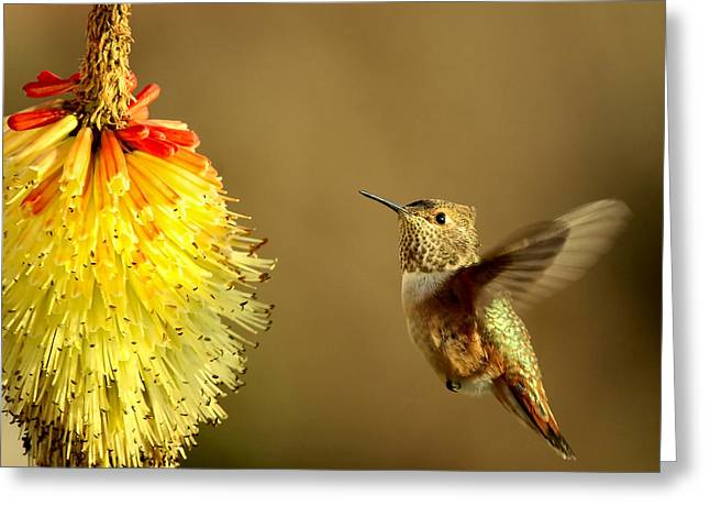 Hummer Greeting Cards - Flight of the Hummer Greeting Card by Mike  Dawson