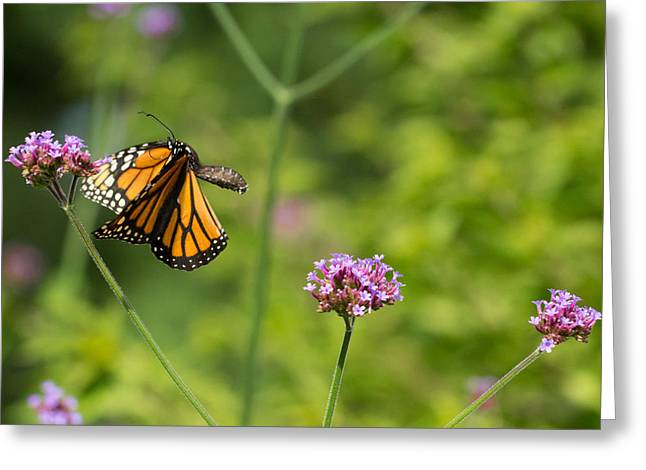 Flight Of The Monarch 2 Greeting Card