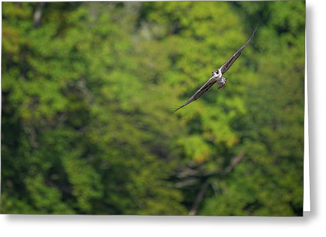 Flight Of The Osprey Greeting Card