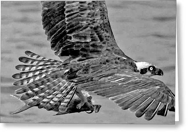 Flight Of The Osprey Bw Greeting Card