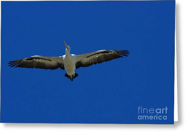 Flight Of The Pelican Greeting Card by Blair Stuart