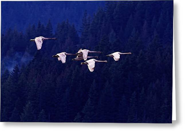Flight Of The Swans Greeting Card by Sharon Talson