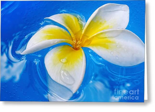 Floating Frangipani - Plumeria Alba Greeting Card by Kaye Menner