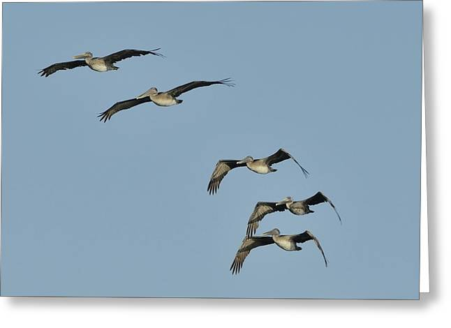 Greeting Card featuring the photograph Flock Of 5 Pelicans  by Bradford Martin
