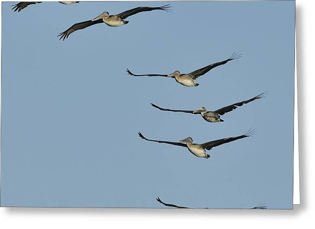 Greeting Card featuring the photograph Flock Of Brown Pelicans by Bradford Martin