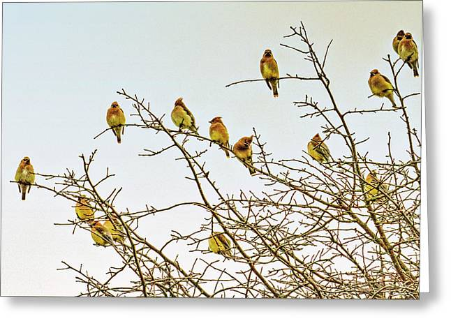 Flock Of Cedar Waxwings  Greeting Card by Geraldine Scull