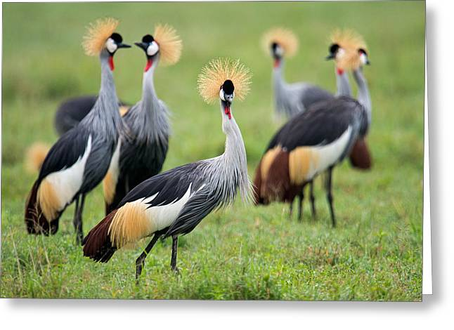 Flock Of Grey Crowned Cranes Balearica Greeting Card by Panoramic Images