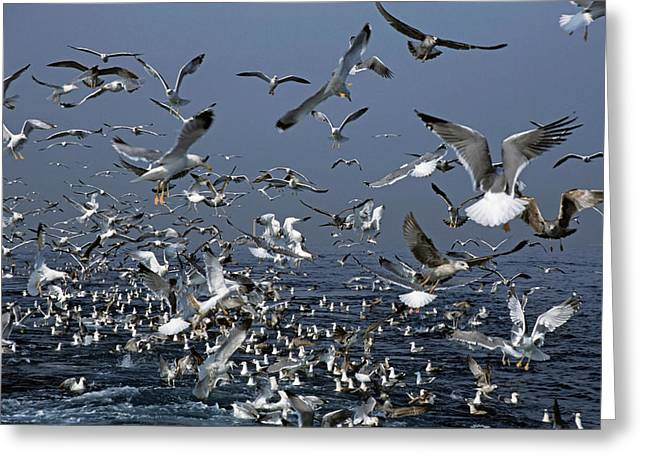 Flying Seagull Greeting Cards - Flock of seagulls in the sea and in flight Greeting Card by Sami Sarkis