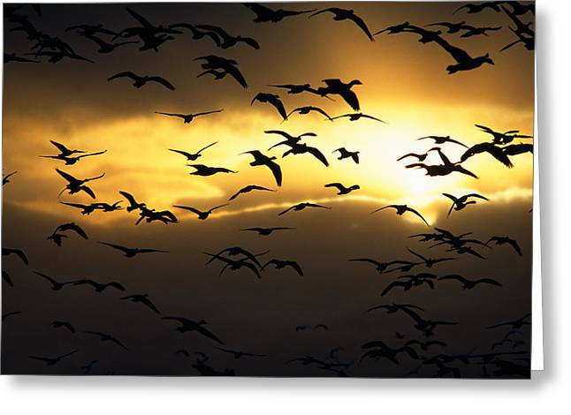 Flock Of Silhouetted Snow Geese Greeting Card