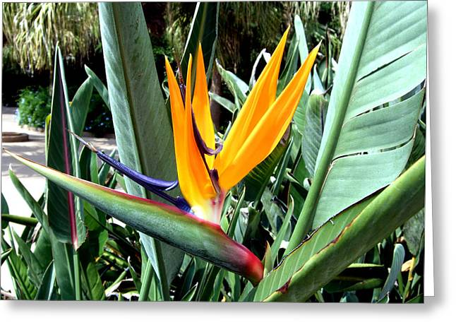 Florida Flowers Digital Greeting Cards - Florida Bird of Paradise Greeting Card by Mindy Newman