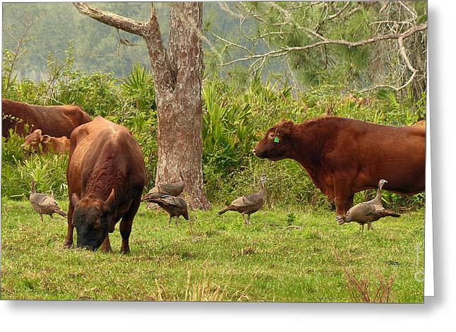 Florida Cracker Cows And Osceola Turkeys #2 Greeting Card by Teresa A and Preston S Cole Photography