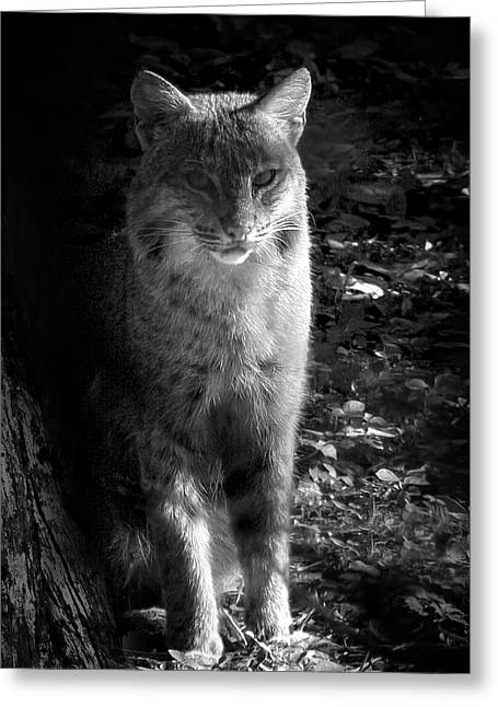 Florida Everglades Bobcat Greeting Card by Mark Andrew Thomas