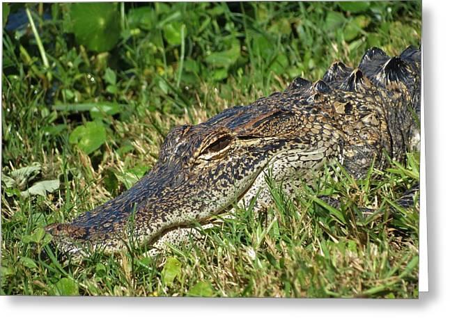 Florida Gator Greeting Card by Duff DeVaul