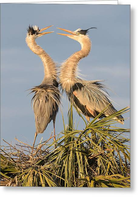 Florida Great Blue Herons Nesting One Greeting Card