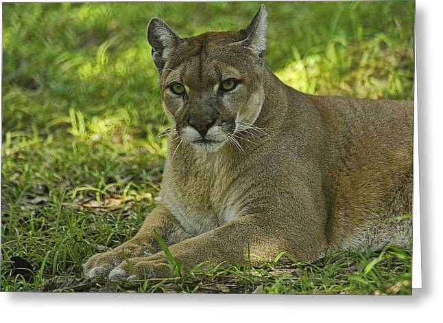 Florida Panther Greeting Card by Keith Lovejoy