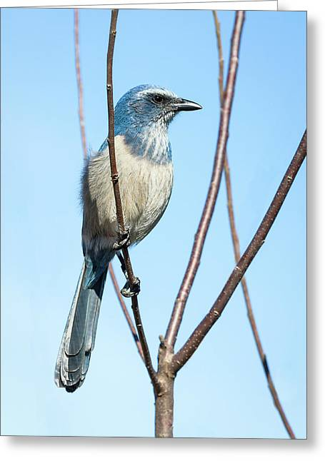 Florida Scrub Jay Iv Greeting Card