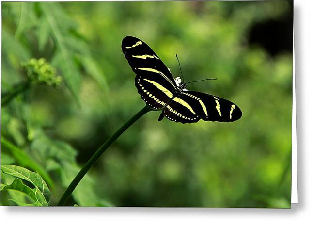 Florida State Butterfly Greeting Card by Greg Allore