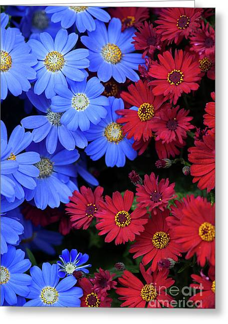Florists Cineraria Flowers Greeting Card