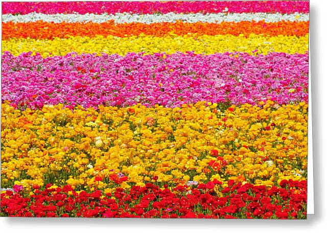 Flower Fields Carlsbad Ca Giant Ranunculus Greeting Card by Christine Till