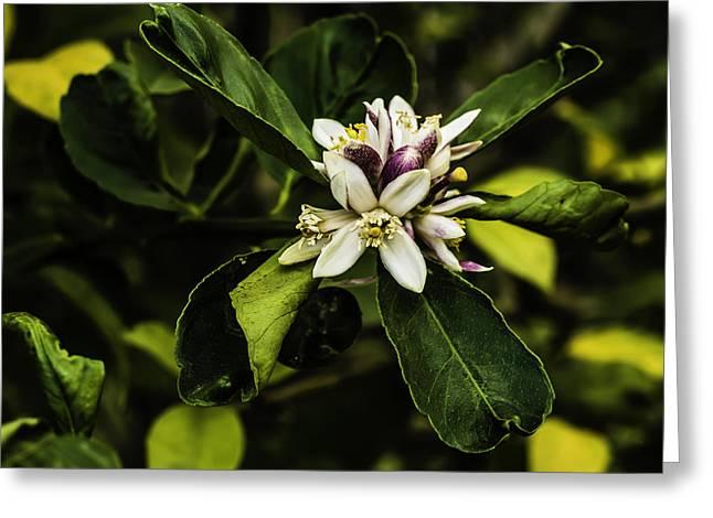 Flower Of The Lemon Tree Greeting Card