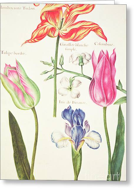 Flower Studies  Tulips And Blue Iris  Greeting Card by Nicolas Robert