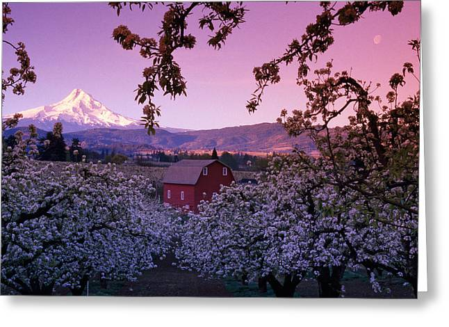 Flowering Apple Trees, Distant Barn Greeting Card
