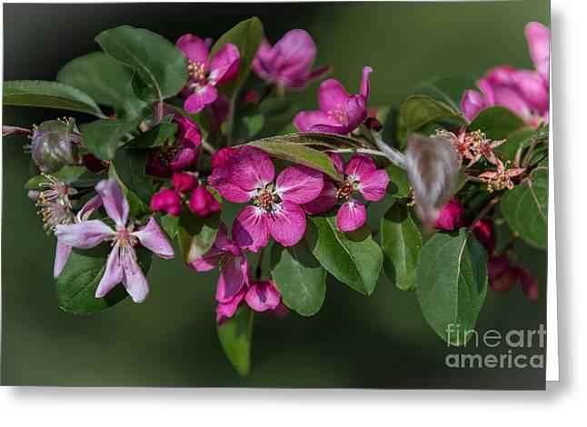 Flowering Crabapple Greeting Card by John Roberts