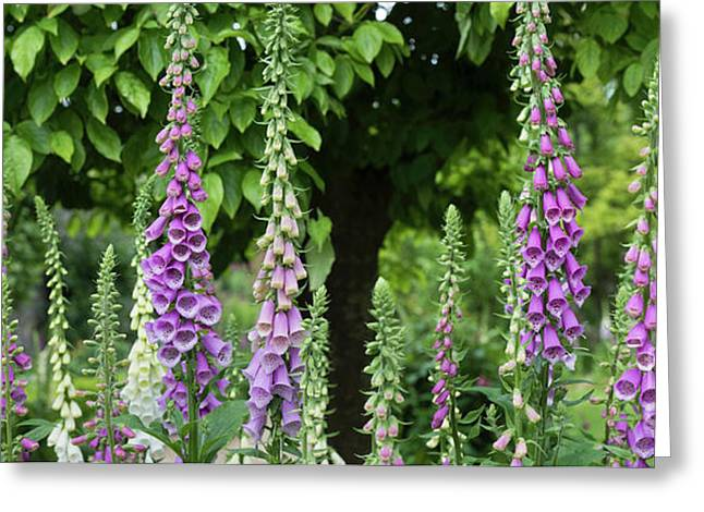 Flowering Foxgloves Greeting Card by Tim Gainey